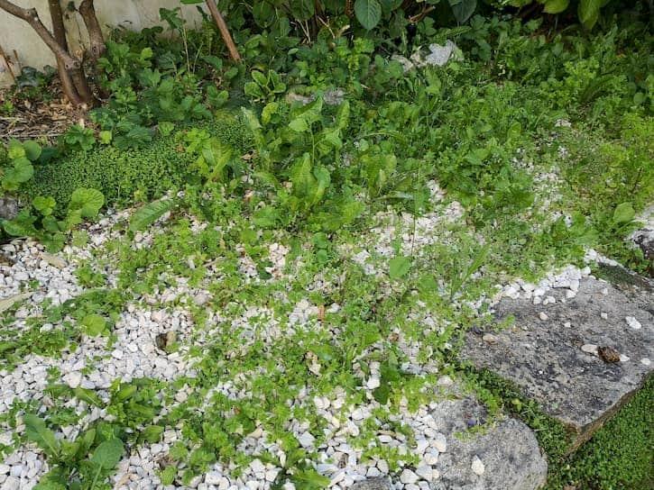 premier jour avant traitement les mauvaises herbes sur l'allée gravillonée